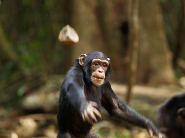 chimp_throwing_rock_corbis
